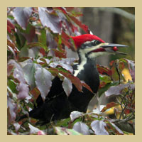 Pileated Woodpecker.  Photo by Patrick ML Smith