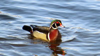 Wood Duck.  Photo by Patrick ML Smith